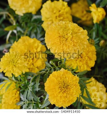 Marigolds (Tagetes erecta, Mexican marigold, Aztec marigold, African marigold) #1404911450