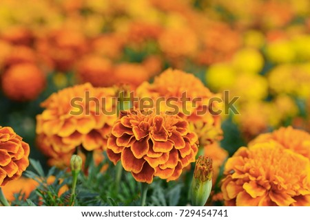 Marigolds (Tagetes erecta, Mexican marigold, Aztec marigold, African marigold) #729454741