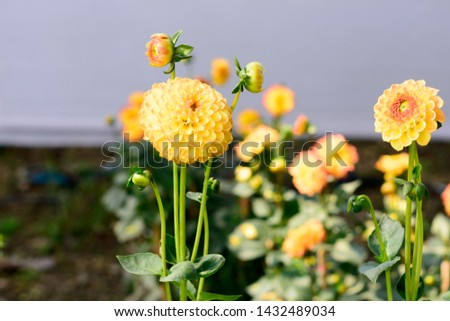 Marigolds (Tagetes erecta, Mexican marigold, Aztec marigold, African marigold) blossoming in the summer in a garden. It is a sun loving plant Blooms in early spring. Copy space room for text #1432489034