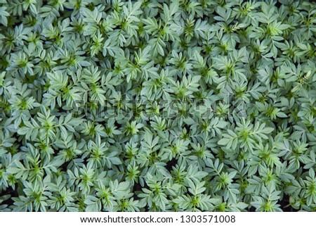 Marigolds (Tagetes erecta, Mexican marigold, Aztec marigold, African marigold), in the garden for nature background  #1303571008