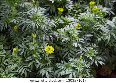 Marigolds (Tagetes erecta, Mexican marigold, Aztec marigold, African marigold), in the garden for nature background  #1303571017