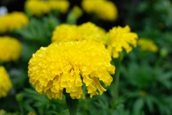 Marigolds (Tagetes erecta, Mexican marigold, Aztec marigold,African marigold).Marigolds shades of yellow and orange, Floral background (Tagetes erecta, Mexican marigold, Aztec marigold,marigold flower