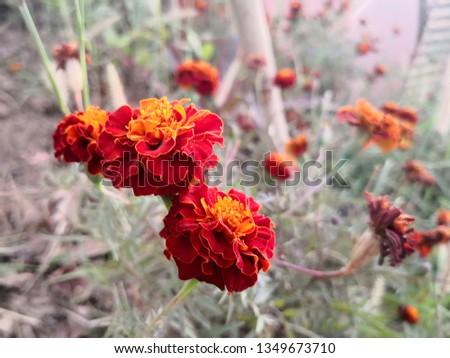 Marigolds (Tagetes erecta, Mexican marigold, Aztec marigold, African marigold),stunning marigold flowers. #1349673710