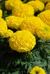 Marigolds Yellow Color (Tagetes erecta, Mexican marigold, Aztec marigold, African marigold), marigold pot plant