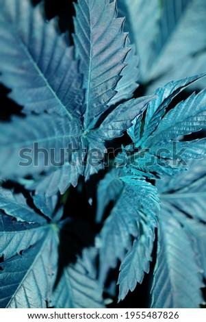 Marihuana first leaves close up modern high quality print medical marihuana super lemon haze family cannabaceae Stockfoto ©