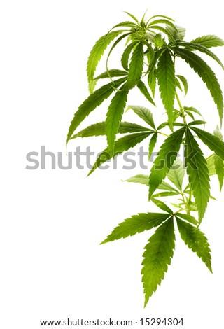 Marijuana Border