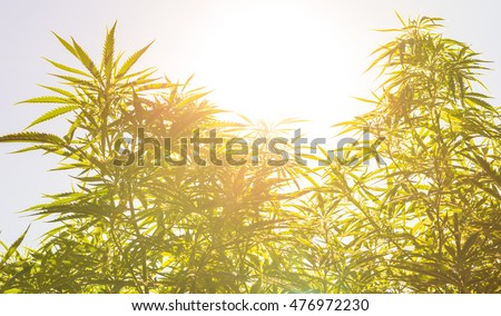 Marijuana (cannabis) plants before harvest time in sunshine