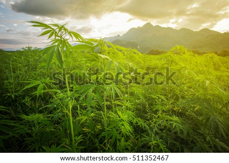 Marijuana in morning light from Asia.The landscape photo asia, background mountain  Marijuana bloom Plants nature of farm field with green, Planted legal ,Thickets cannabis plants weed