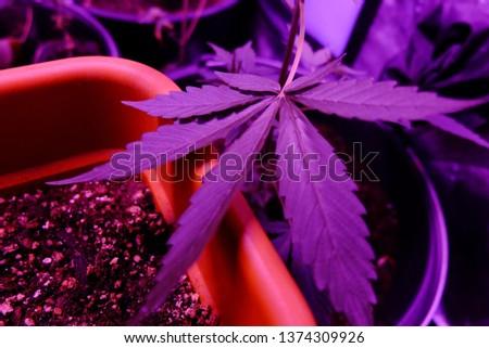 Marijuana leaf close up #1374309926