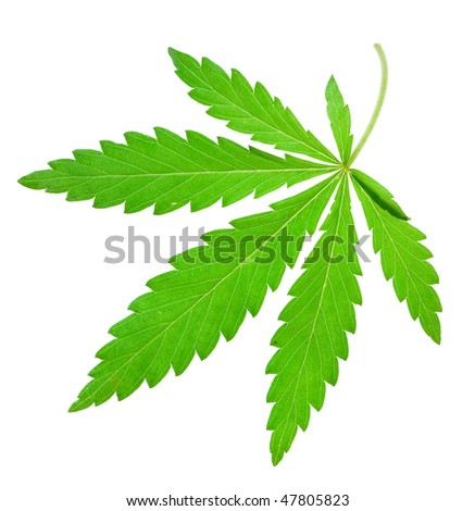 marijuana leaf on isolated