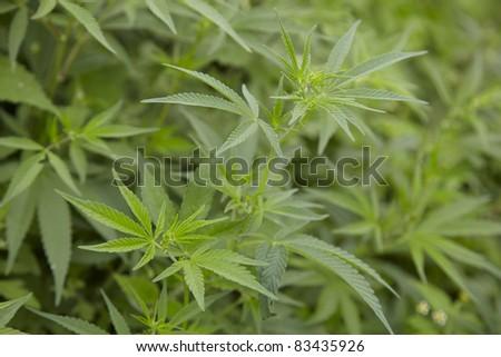Marijuana leafs.