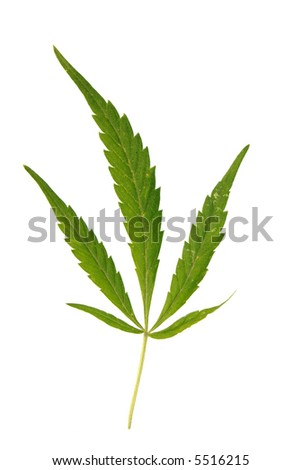 marijuana leave isolated on white