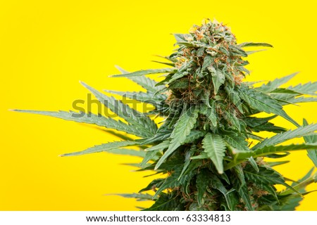 marijuana on a yellow background