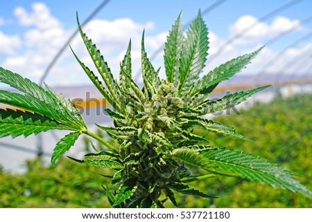 Marijuana Plant Blue Sky Background Commercial Growing Operation Cannabis For Recreational Use Washington State