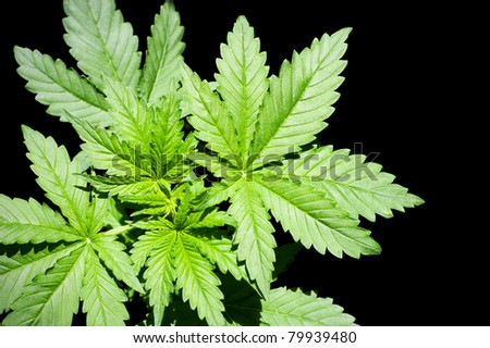 Marijuana Plant green on a black background.  Cannabis (marijuana) - is an annual plant of the family Konoplev (Cannabaceae).