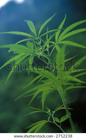 Marijuana plant growing in the Lantahg Khola Valley, Northern Nepal