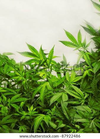 Marijuana Plant, Hannabis Background