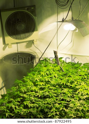 Marijuana Plant, Hannabis Background