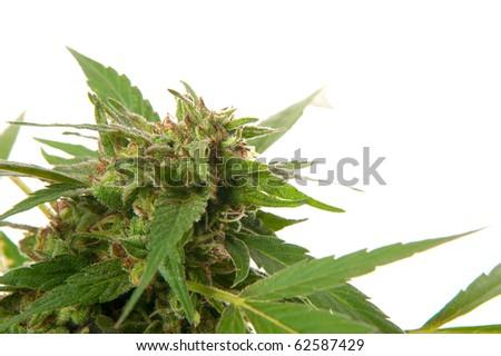 Marijuana plant isolated on white background
