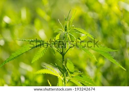 marijuana plant on the green background
