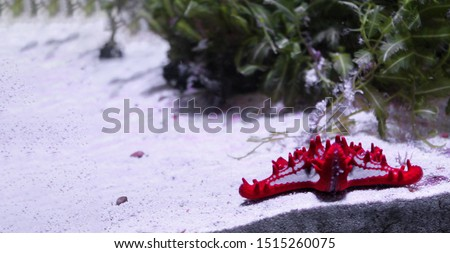 Marine background of red starfish lying on the sand with copy space for text. Sea and ocean life backdrop with blue water. Underwater inhabitant and algae. Diving, oceanarium or aquarium picture