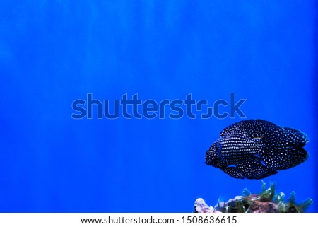 Marine background with black and white coral reef fish and copy space for text. Relaxing sea and ocean life backdrop with blue water. Underwater inhabitant. Diving or oceanarium or aquarium picture