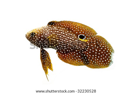 Marine Beta Fish (Calloplesiops altivelis) isolated on white background.