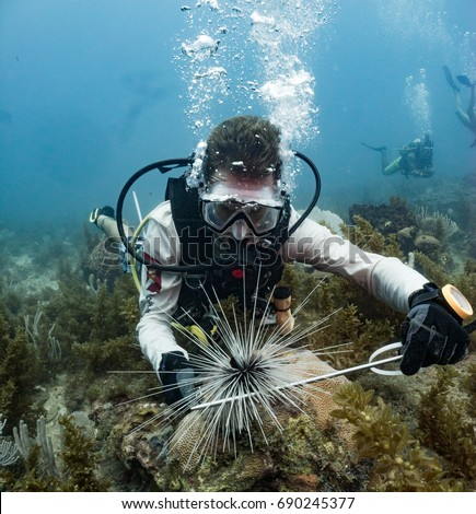 Marine Biologist studying black spiny sea urchins in Honduras Photo stock ©