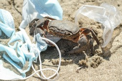 Marine crab on discarded Waste pollution.contaminated sea habitat,,COVID-19 disease effects