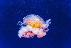 Marine creatures, Medusozoa, jellyfish with jelly-like body and bell shape.