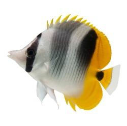marine fish, butterflyfish reef fish on white background