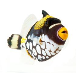 marine fish, clown triggerfish, reef fish, isolated on white background