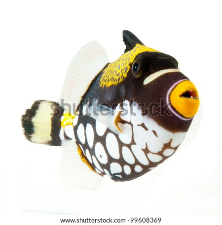 marine fish, clown triggerfish, reef fish, isolated on white background