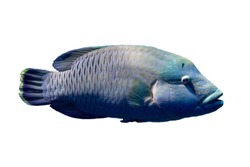 Marine fish on white isolated background with clipping path. Humphead wrasse (Cheilinus undulatus)