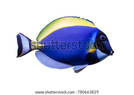 Marine fish on white isolated background with clipping path. Powder Blue Tang (Acanthurus leucosternon)