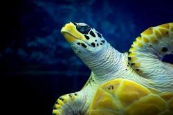 Marine green turtle close up.