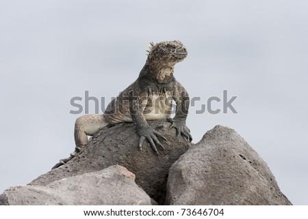 Marine Iguana (Amblyrhynchus cristatus hassi) resting on a rock on South Plaza Island, Galapagos.