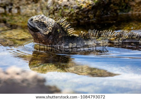 Marine Iguana (Amblyrhynchus cristatus) in Galapagos Islands, Ecuador