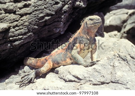 Marine iguana (Amblyrhynchus cristatus) on Espanola, Galapagos Islands, Ecuador