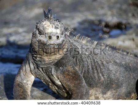 Marine Iguana of the Galapagos