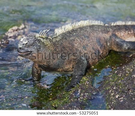 Marine Iguana on Isla Fernandina, Galapagos Islands, Ecuador