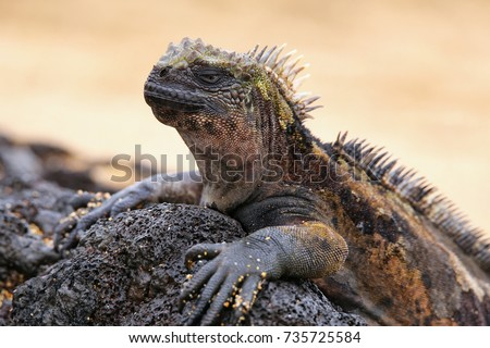 Marine iguana on Santiago Island in Galapagos National Park, Ecuador. Marine iguana is found only on the Galapagos Islands