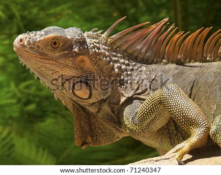 Marine iguana resting in the sun
