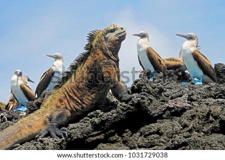 Marine iguana with blue footed boobies, booby, Sula nebouxii and Amblyrhynchus cristatus, on Isabela Island, Galapagos, Ecuador, South America #1031729038