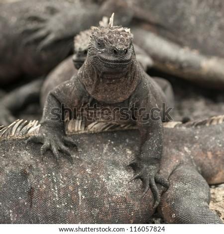 Marine iguanas (Amblyrhynchus cristatus), Galapagos Islands, Ecuador