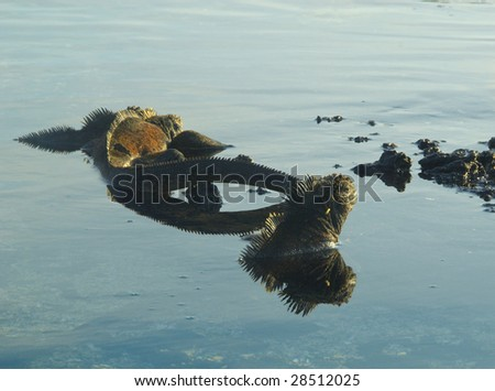 Marine Iguanas and reflections in water, Galapagos Islands.