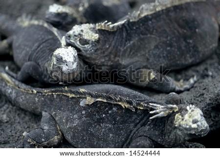 Marine Iguanas - Galapagos Island