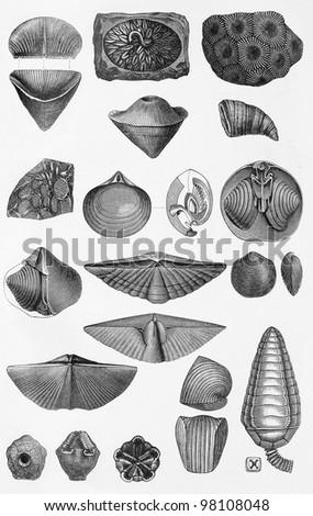 Marine life, shells and snails vintage drawing -  Picture from Meyers Lexicon books collection (written in German language ) published in 1906 , Germany.