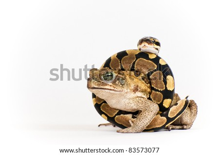 Marine Toad and Python Hatchling