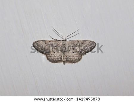 Mariposilla o polilla mas conocidas. De la familia de los insectos voladores. Puedes encontrars, en casas y pisos. Y como cuenta la leyenda, traen buena suerte.